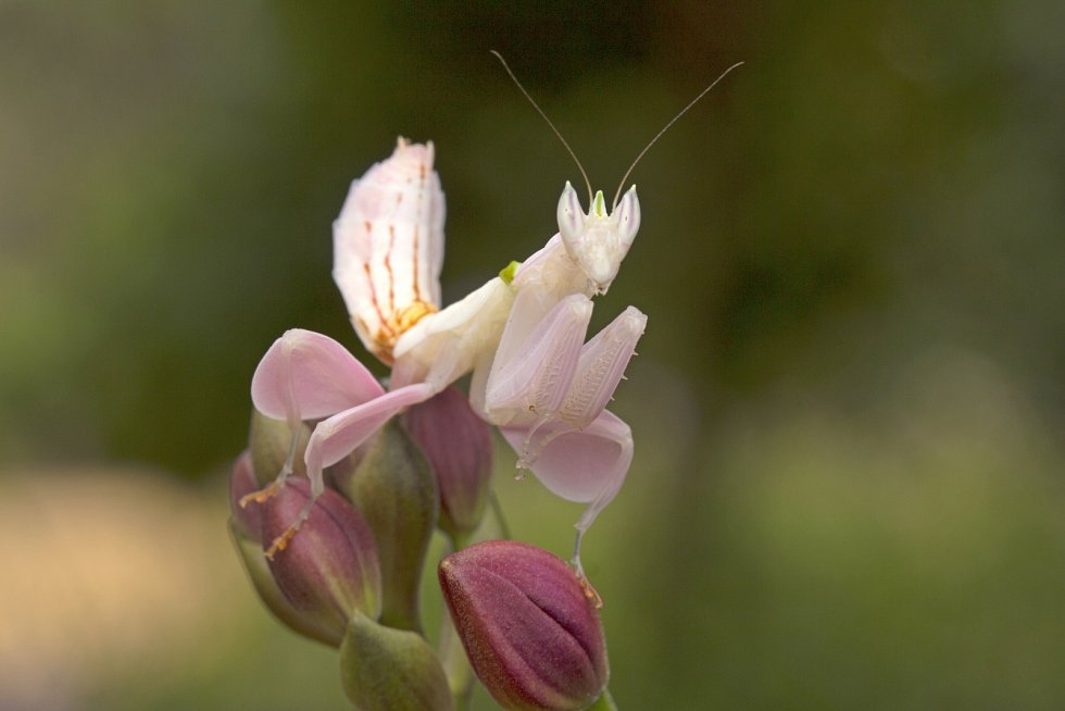 Kudlanka orchidejová vypadá a voní jako květina. Hmyz, který naláká, jí nasedá přímo na kusadla.