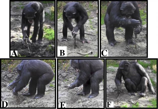 Šimpanzi znorské zoo použili nástroje, aby se dostali kzahrabané potravě