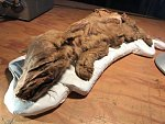 Výjimečný nález z Kanady. Těžaři objevili mumii vlčího mláděte z doby ledové