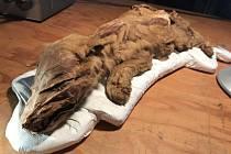 Mumie vlčího mláděte byla objevená v oblasti Klondike v kanadském Yukonu