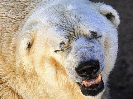 Medvěd Arturo.