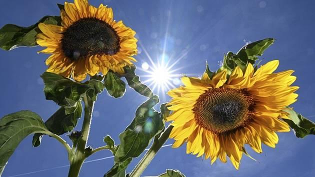 Letní počasí, slunečnice - ilustrační foto