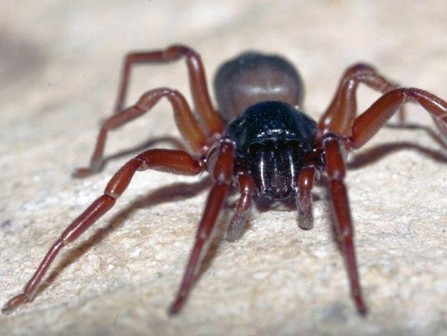 V propasti Macocha v Moravském krase byl objeven dosud neznámý druh pavouka z čeledi šestiočkovitých. Dostal jméno šestiočka moravská.
