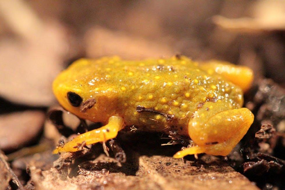 Ropušenka s latinským názvem Brachycephalus nodoterga