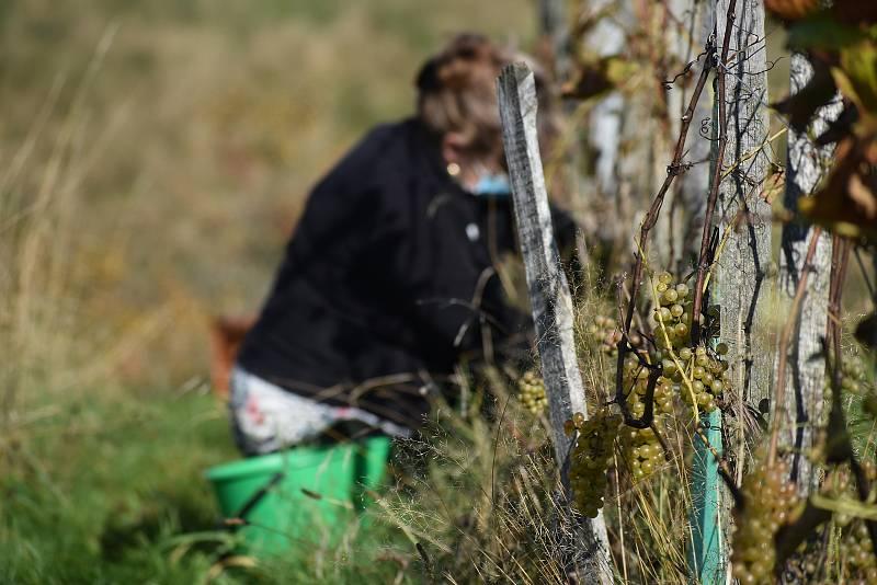 Na čtvrtině hektaru plodí vinné hrozny 1250 hlav. Na rozdíl od loňského roku bylo letos ale málo slunečných dní,  takže hrozny v Litoboři nestihly dozrát do potřebné cukernatosti.
