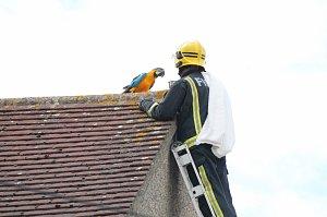 Na severu Londýna hasiči zachraňovali papouščí samičku Jessie, která uvízla na střeše domu své majitelky.