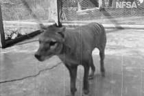 Vakovlk tasmánský (Thylacinus cynocephalus) na nově zveřejněných unikátních záběrech