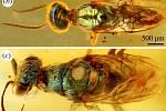 """Vosa s kovově modro-zelenou hlavou a """"kukaččí"""" vosa (říká se jí tak, protože se při kladení vajíček chová podobně jako kukačka, klade je do cizích hnízd), opět kovově leskle modrozeleně zbarvená"""