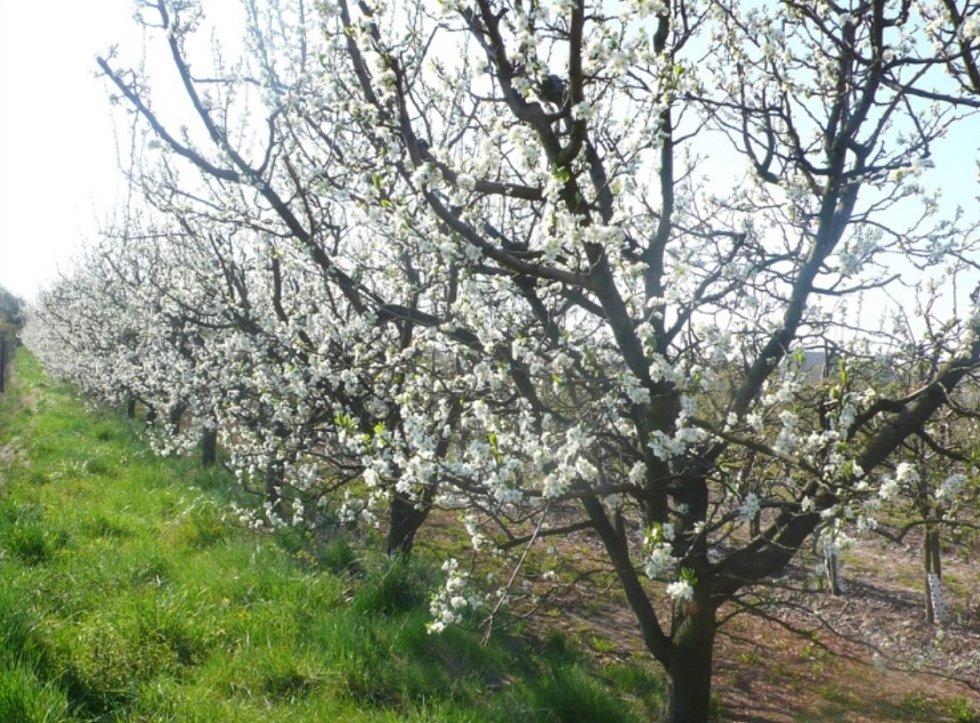 Chytré třídění jablek v Žernově