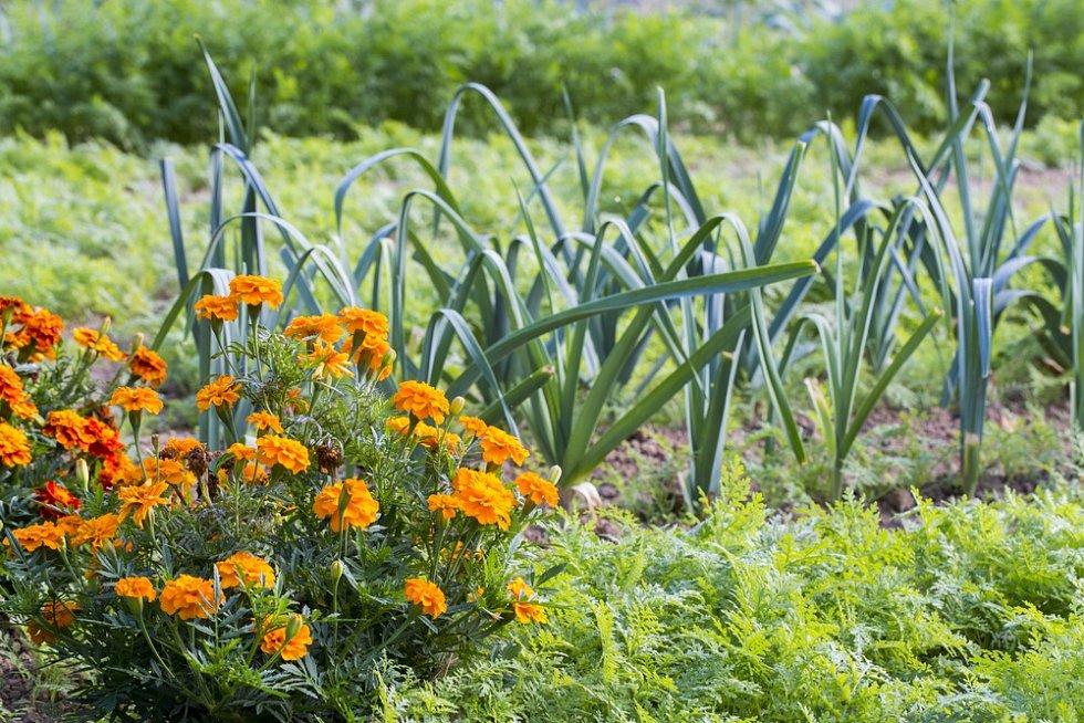 Aksamitník například dokáže redukovat množství škůdců v půdě (kořenová háďátka) a je vhodný do kteréhokoliv smíšeného záhonu.