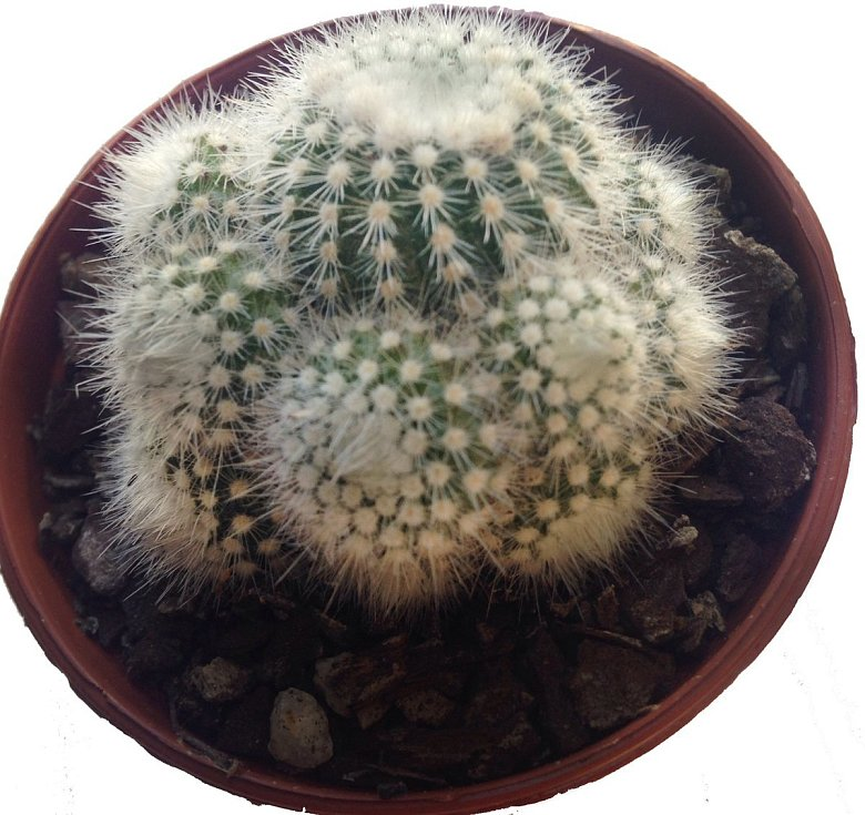 Notocactus patří také mezi méně náročné druhy. Pochází z Brazílie. Dobře roste a kvete již jako mladá rostlina.