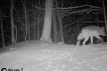 Vlk na severním okraji Hrubého Jeseníku, jak jej na začátku ledna zachytila fotopast.