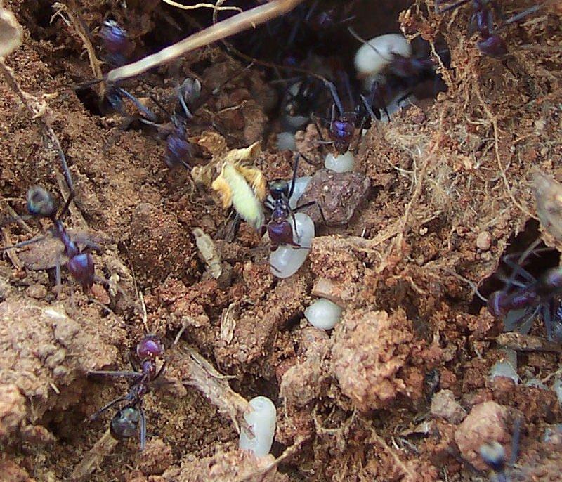 Mravenci evakuují svá vajíčka