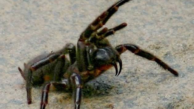 Austrálie se po požárech obává přemnožení sklípkance jedovatého, který se vyskytuje zejména kolem Sydney a patří k nejjedovatějším pavoukům na světě