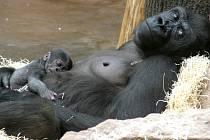 Gorilí máma Kijivu s Mojou.