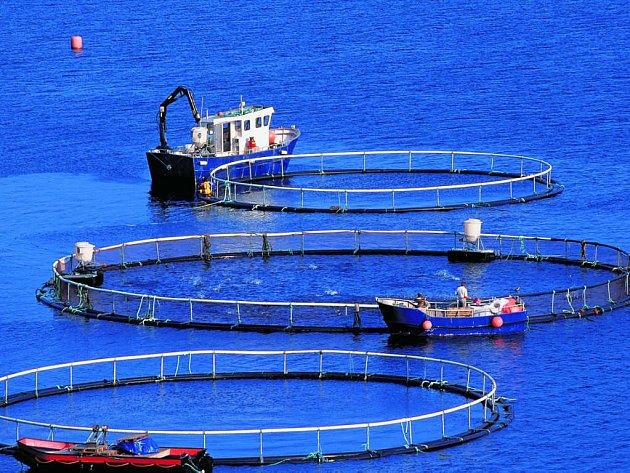 Kvůli lososím farmám hrozí, že úbytek jejich druhů žijících ve volné přírodě, bude narůstat.