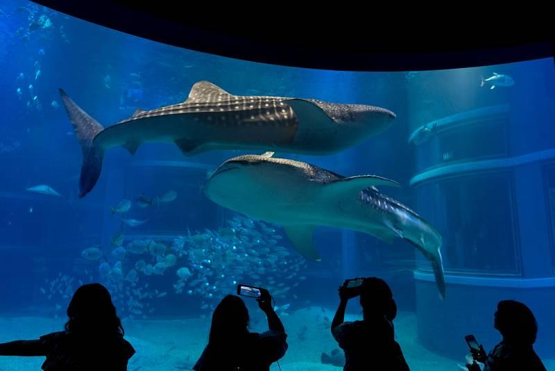 Platí ale i druhá strana mince, pokud se tento druh turismu za obřími žraloky praktikuje odpovědně, může naopak tento druh pomoc zachránit.