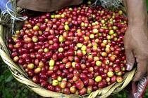 Plody kávovníků - kávové boby.