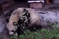 Panda velká se vloupala na včelí farmu