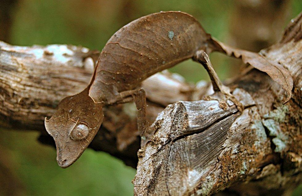 Gekon podobný listu se skrývá před predátory.