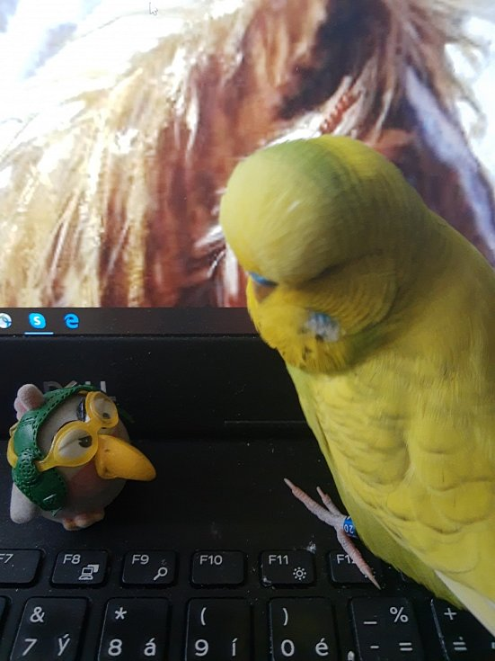 Papoušek Frodo