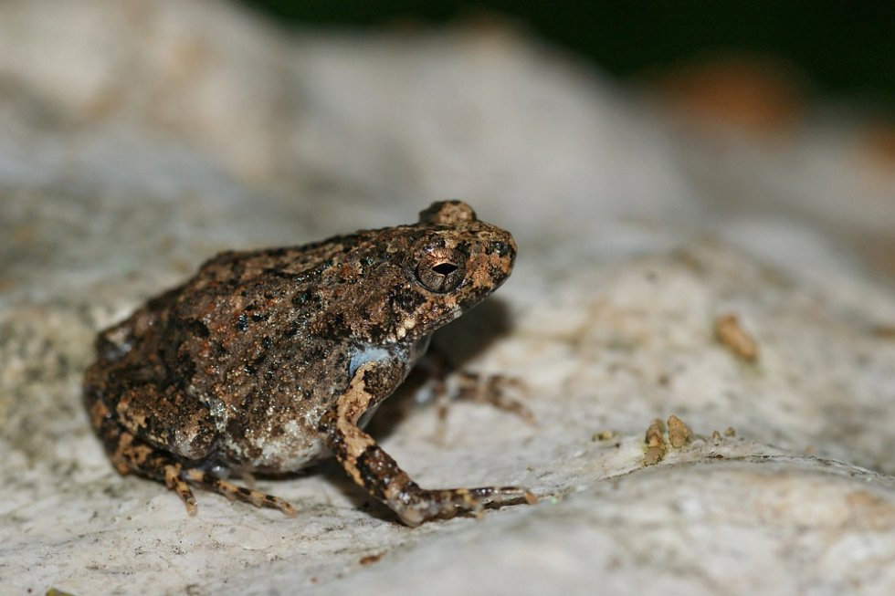Hvízdalka pěnodějná (Engystomops pustulosus)
