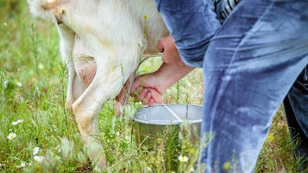 Kozí mléko - Ilustrační foto