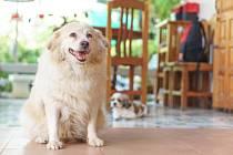 Jen za posledních pětadvacet let vzrostly počty psů s cukrovkou dokonce 2,5krát – v současnosti trpí touto nemocí až čtyři procenta psů.