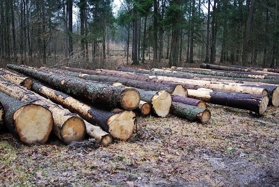 V Bělověžském pralese zůstávají vykácené pláně