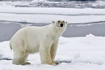 Lední medvědi vlivem globálního oteplování přichází o své přirozené prostředí.