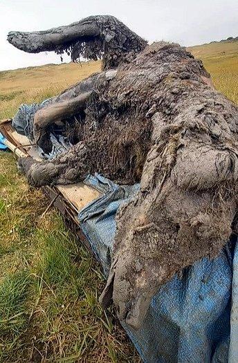 Mumie medvěda z doby ledové, kterou pastevci nalezli na Sibiři.
