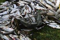 Uhynulé ryby. Ilustrační snímek