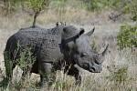 Nosorožec tuponosý jižní (Ceratotherium simum simum)