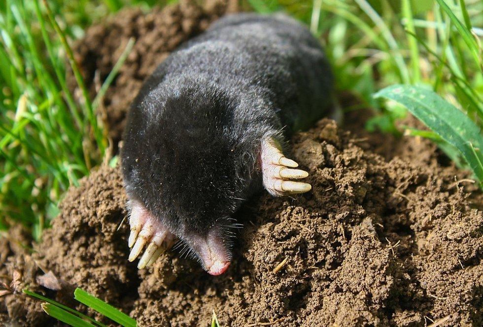 S krtkem zahradníci často bojují: nelíbí se jim krtince v trávnících a podezřívají ho, většinou neodůvodněně, z poškozování kořínků a cibulí pěstovaných rostlin.