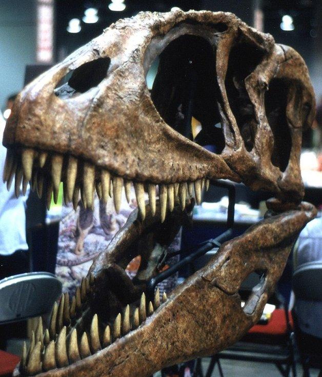 Lebka Carcharodontosaura z Kem Kem