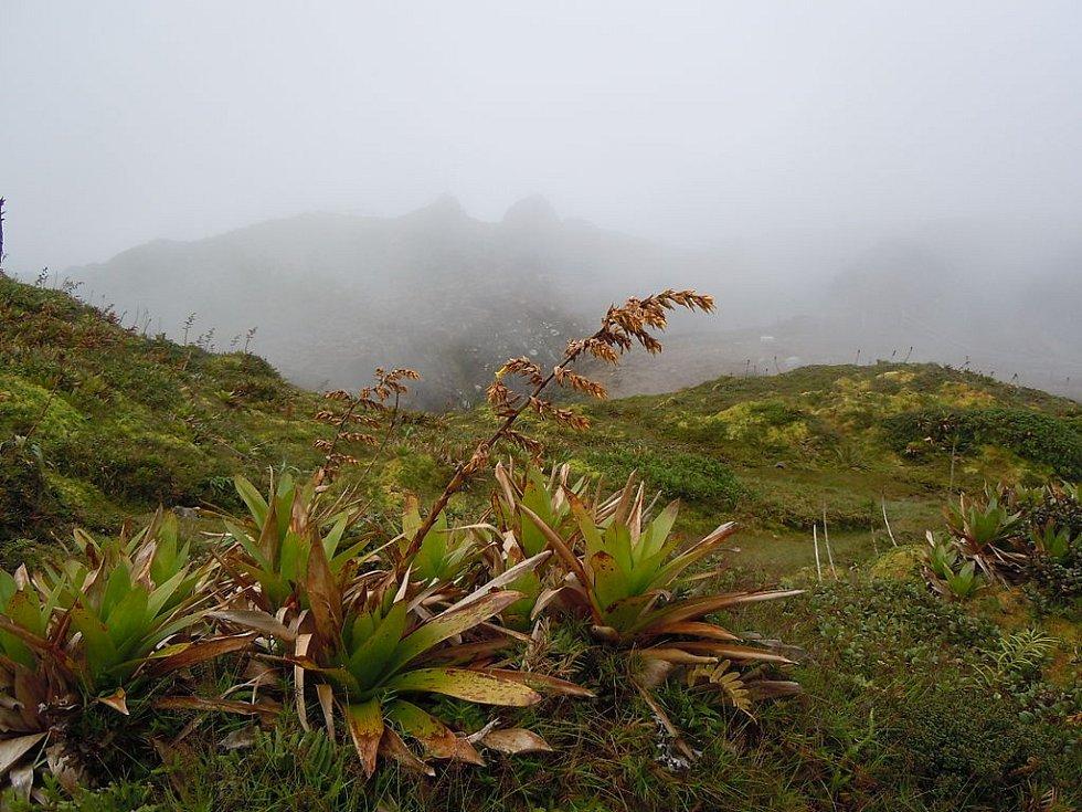 Další rostlinou vyskytující se na svazích pod sopkou je guzmania-plumieri