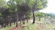 Gran Canaria. Les, přes který se před nedávnou dobou přehnal požár. Odolné kanárské borovice jej přežily.