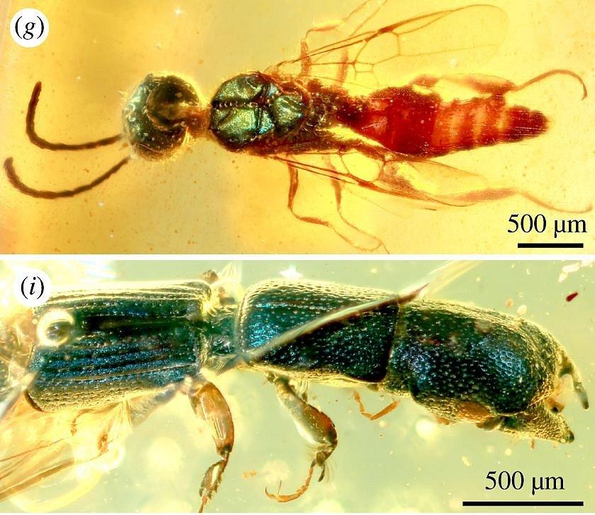 Nahoře žahadlová vosa se zelenou hlavou a střední částí těla, dole podlouhlý kornatcovitý brouk v barvě kovové modři