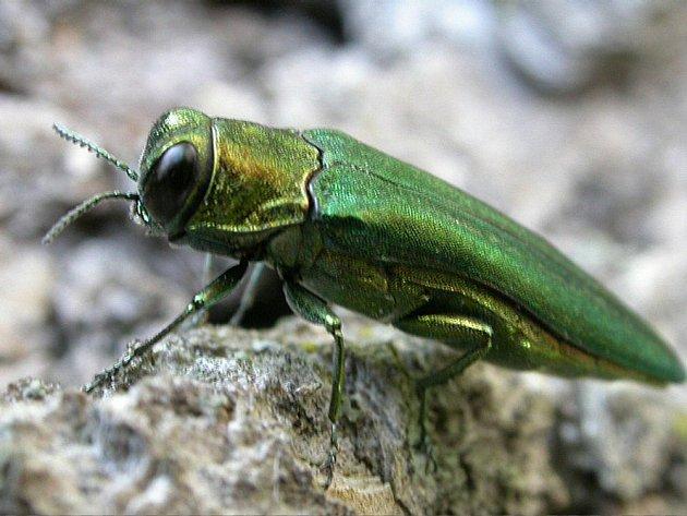 Brouček s vědeckým názvem Agrilus planipennis pochází z východní Asie a nyní doputoval až do St. Louis v centrální části Spojených států.