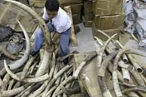 Devadesát procent slonoviny pochází ze slonů skolených pytláky, ilustrační foto