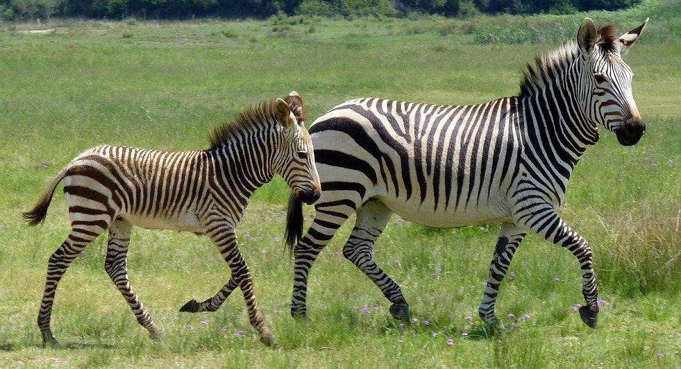 Jakmile zvířata vycítí nebezpečí, zapomenou na mezidruhové půtky. Na snímku je zebra