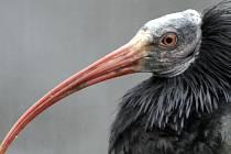 Z voliéry pražské zoologické zahrady dnes postupně uletělo 18 ibisů skalních. Ilustrační foto.