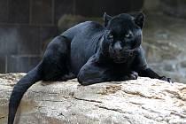 Žena si chtěla pořídit společnou fotku s černým jaguárem. To se jí vymstilo.