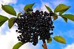 černá jeřabina