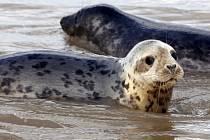 Peru vyšetřuje úhyn zhruba 500 lachtanů, kteří se našli na pláži u severního pobřeží. Ilustračí foto.