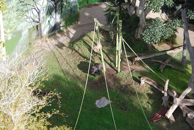 Gorily v zoo v San Diegu, ilustrační foto