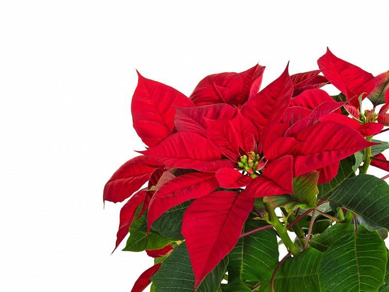 Pokud se rozhodnete pěstovat mexickou hvězdu, dejte ji po svátcích na chladnější místo, na jaře seřízněte a přesaďte do většího květináče.