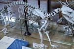 Kostra vakovlka tasmánského v pařížském Národním muzeu přírodní historie