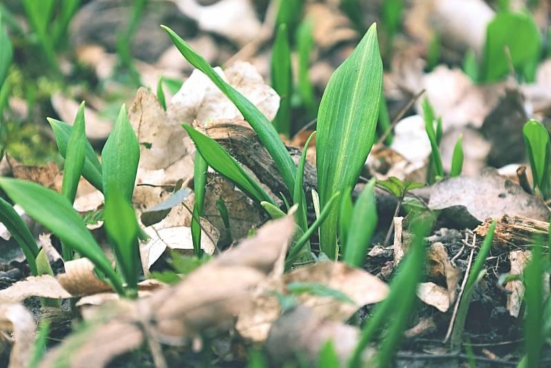 První lístky medvědího česneku se objevují v lesích u Břeclavi. Zelené koberce této rostliny je pokryjí ve velkém během týdne až čtrnácti dnů. Foto: David Mahovský