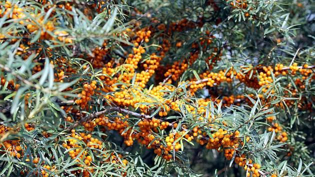 Rakytník patří mezi zcela nenáročné rostliny na pěstování